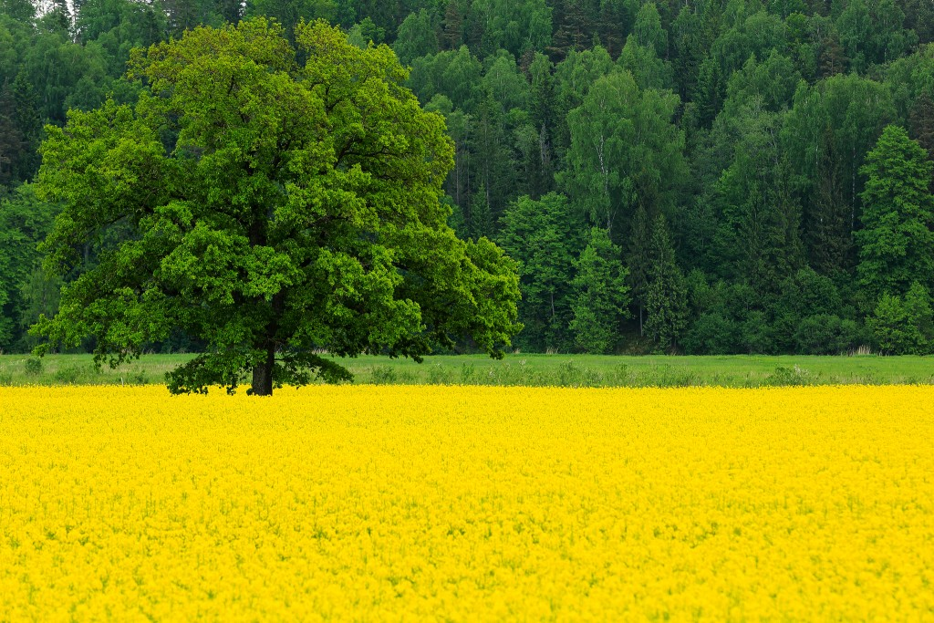 Rape Field Yellow wallpapers HD