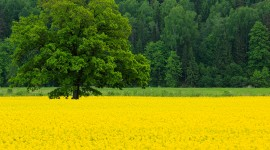 Rape Field Yellow Best Wallpaper