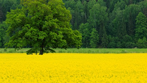 Rape Field Yellow wallpapers high quality