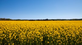 Rape Field Yellow Photo Download#1