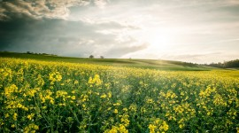 Rape Field Yellow Photo Free
