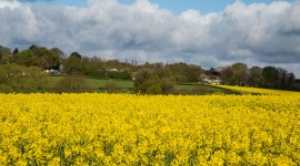 Rape Field Yellow Photo Free#1