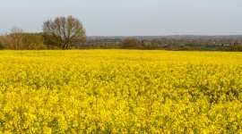 Rape Field Yellow Wallpaper