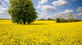 Rape Field Yellow Wallpaper Download