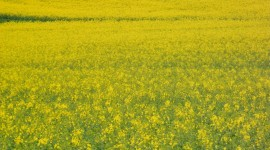 Rape Field Yellow Wallpaper For IPhone