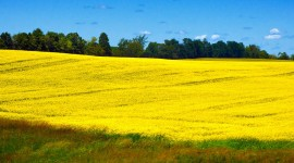 Rape Field Yellow Wallpaper Free