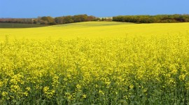 Rape Field Yellow Wallpaper Gallery