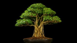 4K Bonsai Tree Desktop Wallpaper