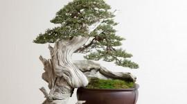 4K Bonsai Tree Photo Free