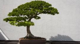 4K Bonsai Tree Wallpaper Download