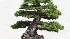 4K Bonsai Tree Wallpaper For Android