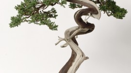 4K Bonsai Tree Wallpaper For IPhone Free