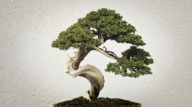 4K Bonsai Tree Wallpaper Free