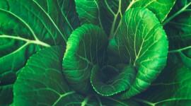4K Cabbage Wallpaper For Desktop