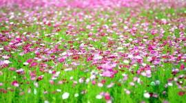 4K Flowers Field Desktop Wallpaper HD