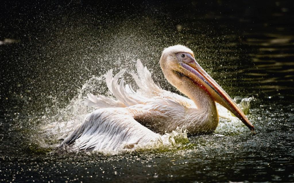 4K Pelican wallpapers HD