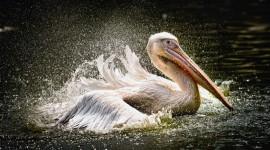 4K Pelican Best Wallpaper
