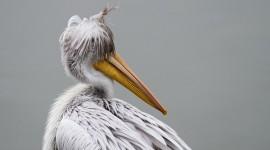 4K Pelican Desktop Wallpaper