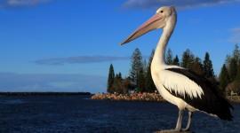4K Pelican Photo