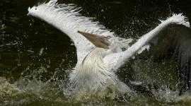 4K Pelican Photo Download