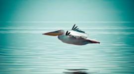 4K Pelican Photo Free