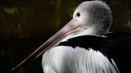 4K Pelican Wallpaper 1080p