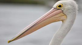 4K Pelican Wallpaper Download