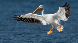 4K Pelican Wallpaper Download Free
