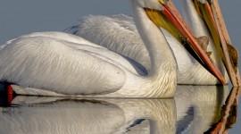 4K Pelican Wallpaper For Mobile