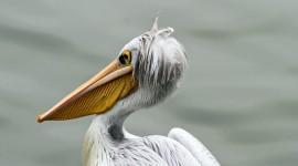 4K Pelican Wallpaper Free