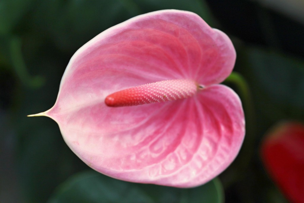 Anthurium wallpapers HD