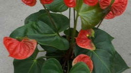 Anthurium Wallpaper For Android