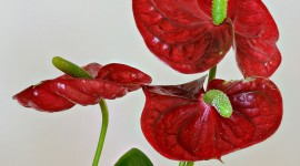 Anthurium Wallpaper For IPhone Download