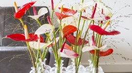 Anthurium Wallpaper For The Smartphone