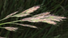 Bromus Wallpaper HQ