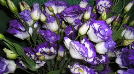 Eustoma Photo Download