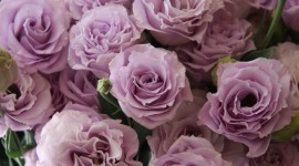 Eustoma Wallpaper For IPhone