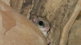 Flying Squirrel High Quality Wallpaper
