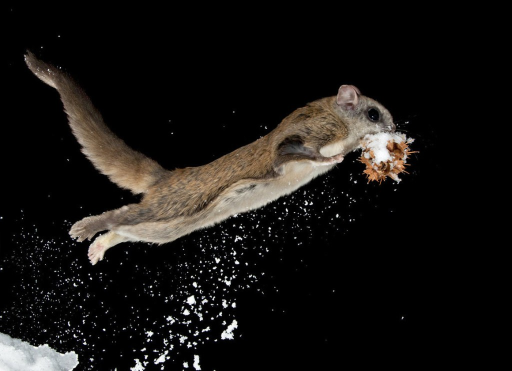 Flying Squirrel wallpapers HD