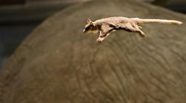 Flying Squirrel Wallpaper