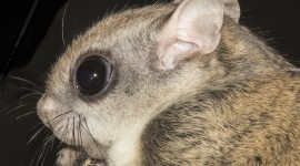 Flying Squirrel Wallpaper Download