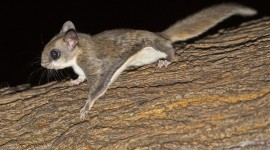 Flying Squirrel Wallpaper Download Free