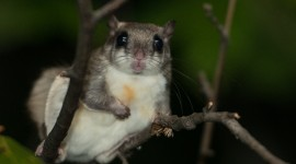 Flying Squirrel Wallpaper For PC