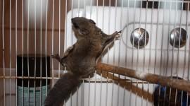 Flying Squirrel Wallpaper Full HD