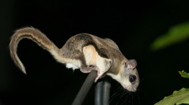 Flying Squirrel Wallpaper Gallery