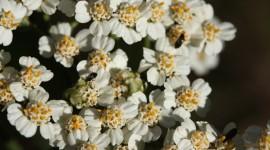 Millefolium Photo