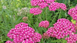 Millefolium Photo Download