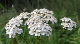 Millefolium Photo Free