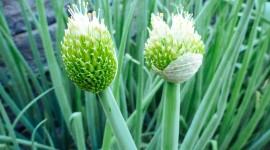 Onion Flowers Desktop Wallpaper