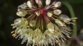 Onion Flowers Wallpaper Download